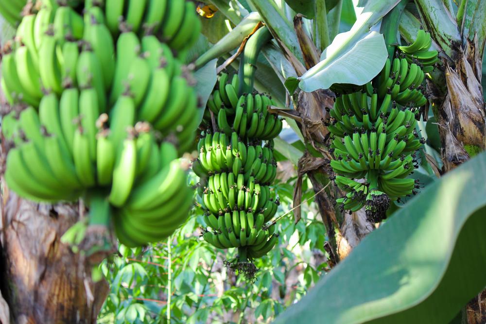 banane matoke