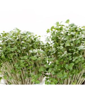 Broccoli x 4 ghivece
