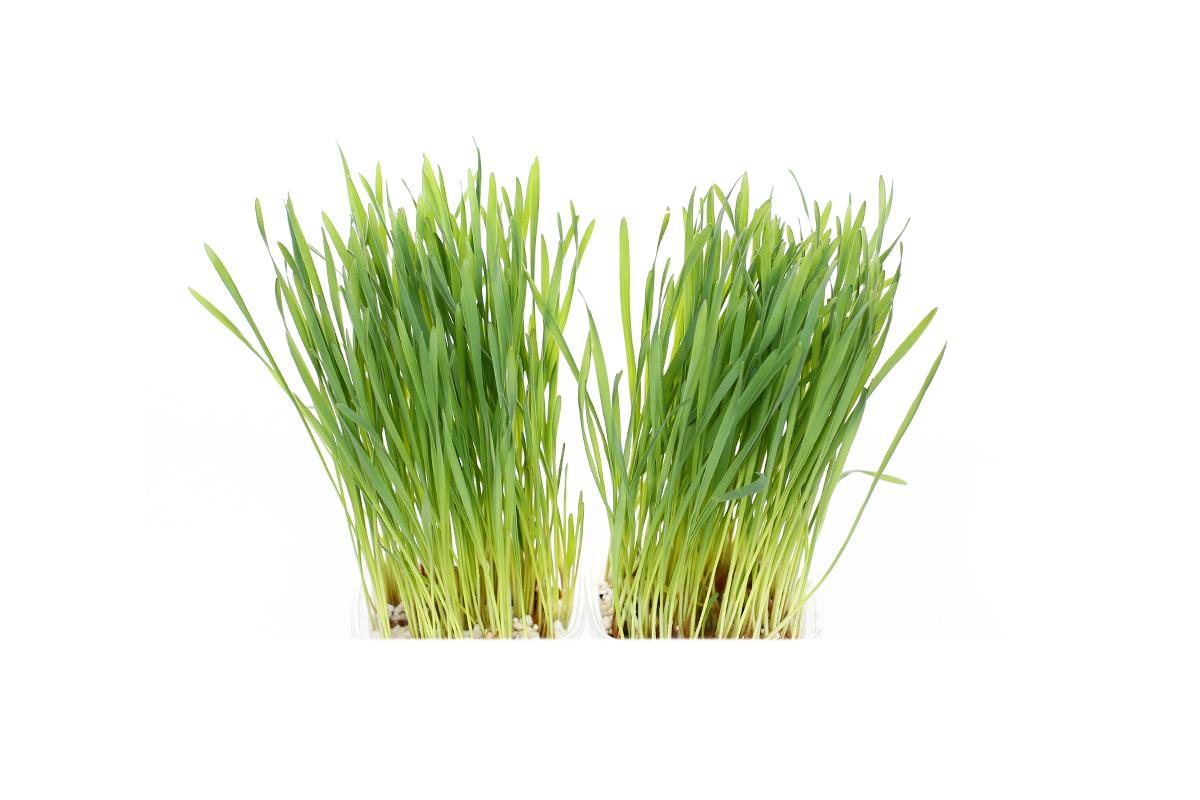 Iarbă de grâu x 4 ghivece