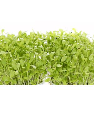 Măcriş verde x 4 ghivece